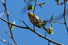 April 22, 2014 - (Rockwoods Reservation [over Glencoe Road] / Wildwood, Saint Louis County, Missouri) -- Northern Parula