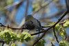 April 18, 2014 - (Castlewood State Park / Ballwin, Saint Louis County, Missouri) -- Northern Parula