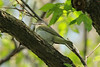 April 24, 2014 - (Castlewood State Park [over trail near railroad tracks] / Ballwin, Saint Louis County, Missouri) -- Red-eyed Vireo