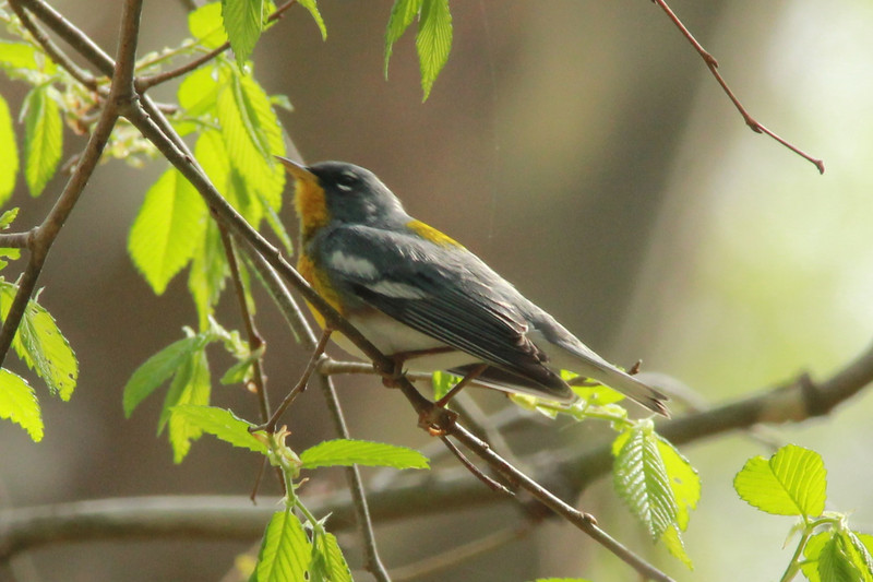 April 24, 2014 - (Castlewood State Park [over road] / Ballwin, Saint Louis County, Missouri) -- Northern Parula