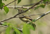 April 23, 2014 (Weldon Springs Conservation Area [Lost Valley Trail] / Defiance, Saint Charles County, Missouri) -- Ruby-crowned Kinglet