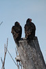 April 16, 2014 (Riverlands Migratory Bird Sanctuary [Red School & Wise Roads] / West Alton, Saint Charles County, Missouri) -- Turkey Vultures