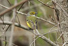 April 23, 2014 (Weldon Springs Conservation Area [Lost Valley Trail] / Defiance, Saint Charles County, Missouri) -- White-eyed Vireo