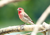 June 24, 2014 - (Riverlands Migratory Bird Sanctuary [Audubon Center] / West Alton, Saint Charles County, Missouri) -- House Finch