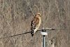 April 17, 2014 - (Rockwoods Reservation [near Prairie] / Wildwood, Saint Louis County, Missouri) -- Red-shouldered Hawk
