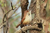 April 24, 2014 - (Castlewood State Park [near HQ] / Ballwin, Saint Louis County, Missouri) -- Carolina Wren