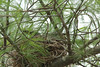 April 17, 2014 - (Rockwoods Reservation [outside visitor center] / Wildwood, Saint Louis County, Missouri) -- American Robin on nest