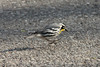 April 20, 2014 - (Castlewood State Park [on road] / Ballwin, Saint Louis County, Missouri) -- Yellow-throated Warbler