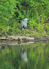 July 5, 2014 - (Simpson Lake County Park [from bicycle trail] / Valley Park, Saint Louis County, Missouri) -- Great Blue Heron