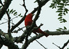 July 5, 2014 - (Shaw Nature Reserve [Bascom House gardens] / Gray Summit, Franklin County, Missouri) -- Male Summer Tanager