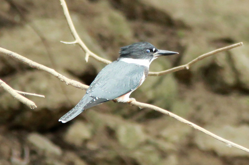 July 28, 2014 - (Simpson Lake County Park [under Marshall Road] / Valley Park, Saint Louis County, Missouri) -- Female Belted Kingfisher