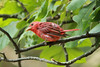 August 4, 2014 - (Lone Elk County Park / Valley Park, Saint Louis County, Missouri) -- Male Summer Tanager