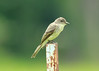 July 5, 2014 - (Shaw Nature Reserve [Bascom House gardens] / Gray Summit, Franklin County, Missouri) -- Eastern Phoebe