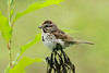 August 17, 2014 - (Columbia Bottom Conservation Area [gravel road] / Spanish Lake, Saint Louis County, Missouri) -- Song Sparrow