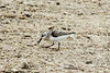 August 9, 2014 - (Clarence Cannon National Wildlife Refuge / Annada, Pike County, Missouri) -- Sanderling