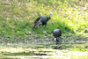 July 30, 2014 - (Lone Elk County Park / Valley Park, Saint Louis County, Missouri) -- Wild Turkey
