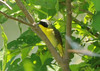 July 15, 2014 (Big Muddy National Wildlife Area [Cora Island] / West Alton, Saint Charles County, Missouri) -- Male Common Yellowthroat