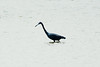 July 29, 2014 - (Horseshoe State Park [from causeway] / Granite City, Madison County, Illinois) -- Little Blue Heron