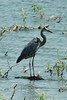 August 25, 2014 - (Riverlands Migratory Bird Sanctuary [Ellis Bay] / West Alton, Saint Charles County, Missouri) -- Great Blue Heron