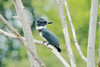 July 29, 2014 - (Bellefontaine Conservation Area [Pond by Shelter] / Bellefontaine Neighbors, Saint Louis County, Missouri) -- Female Belted Kingfisher