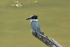 August 4, 2014 - (Lone Elk County Park / Valley Park, Saint Louis County, Missouri) -- Belted Kingfisher