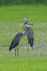 August 18, 2014 - (Eagle Bluffs Conservation Area / Columbia, Boone County, Missouri) -- Great Blue Herons