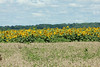 July 15, 2014 - (Columbia Bottom Conservation Area [gravel road] / Spanish Lake, Saint Louis County, Missouri) -- Field of Sunflowers