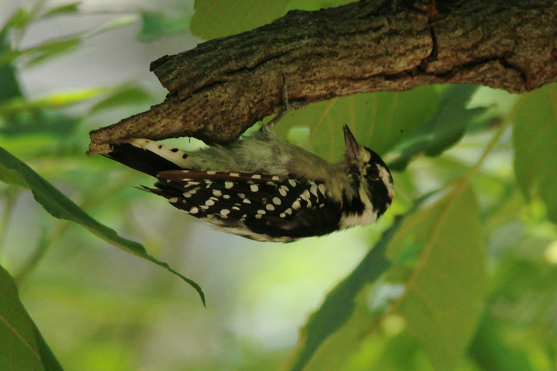 July 30, 2014 - (Lone Elk County Park / Valley Park, Saint Louis County, Missouri) -- Downy Woodpecker