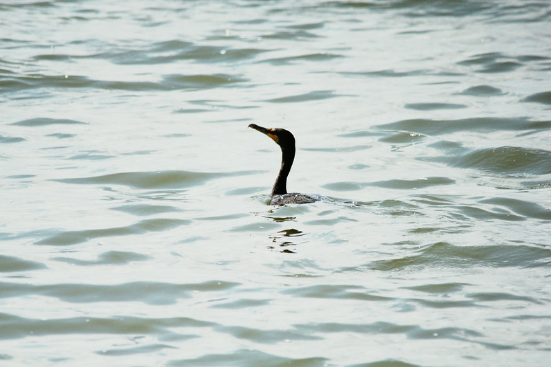 July 29, 2014 - (Horseshoe State Park / Granite City, Madison County, Illinois) -- Double-crested Cormorant