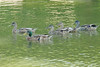 July 28, 2014 - (Simpson Lake County Park [near spillway] / Valley Park, Saint Louis County, Missouri) -- Mallards
