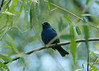 July 15, 2014 (Big Muddy National Wildlife Area [Cora Island] / West Alton, Saint Charles County, Missouri) -- Indigo Bunting