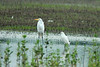 August 9, 2014 - (Firma & Dalbow Roads / O'Fallon, Saint Charles County, Missouri) -- Great Egret and Snowy Egret