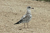 August 9, 2014 - (Clarence Cannon National Wildlife Refuge / Annada, Pike County, Missouri) -- Sub-adult Ring-billed Gull
