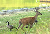 July 30, 2014 - (Lone Elk County Park / Valley Park, Saint Louis County, Missouri) -- Canada Geese with Deer