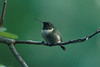August 30, 2014 - (backyard over Grand Glaize Creek / Manchester, Saint Louis County, Missouri) -- Ruby-throated Hummingbird
