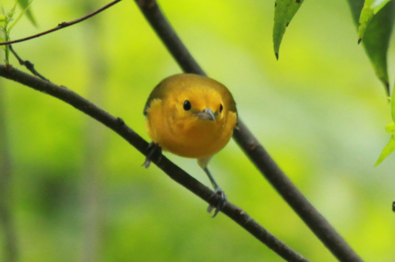 August 9, 2014 - (Clarence Cannon National Wildlife Refuge / Annada, Pike County, Missouri) -- Prothonotary Warbler