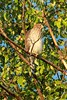 July 23, 2014 - (Over Grand Glaize Creek / Manchester, Saint Louis County, Missouri) -- Cooper's Hawk