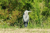 August 2, 2014 - (Bellefontaine Conservation Area [levee between ponds by Shelter] / Bellefontaine Neighbors, Saint Louis County, Missouri) -- Great Blue Heron