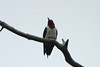 August 9, 2014 - (Clarence Cannon National Wildlife Refuge / Annada, Pike County, Missouri) -- Red-headed Woodpecker