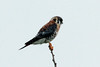 August 17, 2014 - (Bellefontaine County Park / Bellefontaine Neighbors, Saint Louis County, Missouri) -- American Kestrel