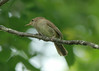 July 5, 2014 - (Shaw Nature Reserve [Bascom House gardens] / Gray Summit, Franklin County, Missouri) -- House Wren
