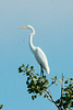 August 31, 2014 - (Clarence Cannon National Wildlife Refuge / Annada, Pike County, Missouri) -- Great Egret