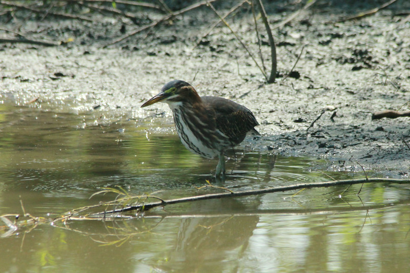 August 25, 2014 - (Confluence Point State Park [Confluence Road] / West Alton, Saint Charles County, Missouri) -- Green Heron