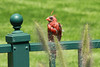 August 18, 2014 - (Shelter Gardens / Columbia, Boone County, Missouri) -- Male Northern Cardinal