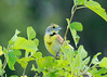 July 15, 2014 - (Columbia Bottom Conservation Area [gravel road] / Spanish Lake, Saint Louis County, Missouri) -- Male Dickcissel