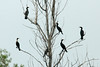 August 9, 2014 - (Clarence Cannon National Wildlife Refuge / Annada, Pike County, Missouri) -- Double-crested Cormorants