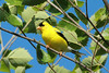 July 28, 2014 - (Simpson Lake County Park [near spillway] / Valley Park, Saint Louis County, Missouri) -- Male American Goldfinch