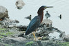 July 29, 2014 - (Horseshoe State Park [from causeway] / Granite City, Madison County, Illinois) -- Green Heron