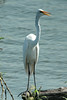 August 25, 2014 - (Riverlands Migratory Bird Sanctuary [Ellis Bay] / West Alton, Saint Charles County, Missouri) -- Great Egret