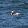 Horned Grebe at Swinburne Island, NYC Harbor